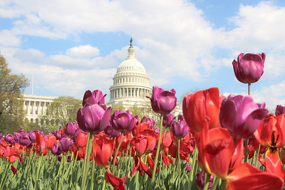 Tulips near the US Capitol