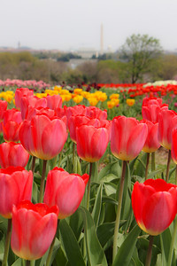 Tulips near the Netherlands Carillon