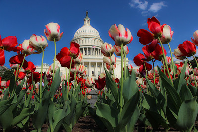 Tulips from the West Front of the US Capitol