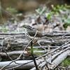 Louisiana Waterthrush