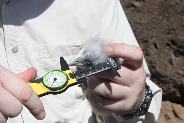 2011 Tropicbird Saba