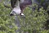 Osprey-fish_Terra Ceia Bay_IMG_9645-1