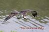 Terra Ceia Bay Osprey_IMG_9643-1
