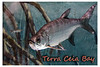 Post Card Fish terra ceia bay only