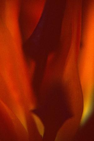 paradiesvogelblume001
