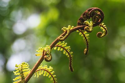 Baumfarn, Whakarewarewa Forest
