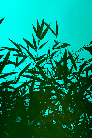 bambus0002