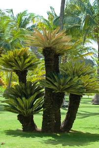 Palmfarn