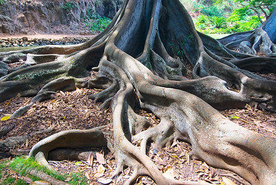 Ficus macrophylla, Moreton Bay Fig