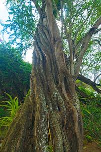 Prosopsis pallida, Mesquite