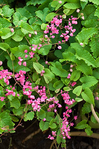 Antigonon leptopus, Mexican Creeper