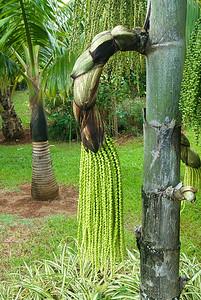 Fruchtstand einer Palme, Caryota