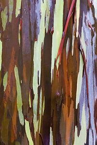 Eukalyptusstamm
