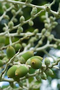 Fruchtstand einer Palme