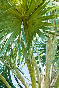 Bismark Palm, Bismarckia