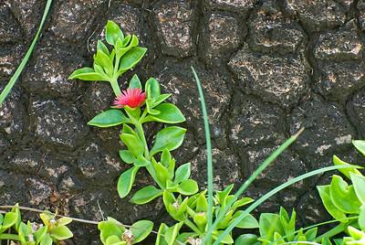 Nolina recurvata (Stamm) und Mittagsblume