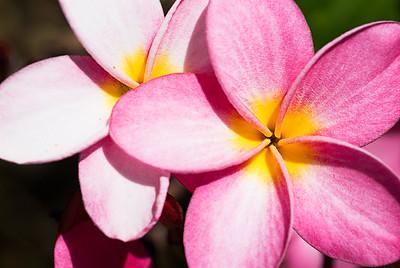 """Plumeria """"Tomlinson Pink"""""""