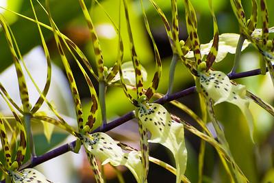 Orchidee, Brassia