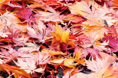 Blätter des Fächerahorn (Acer palmatum)