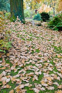 Blätter der Ungarische Eichen (Quercus frainetto)