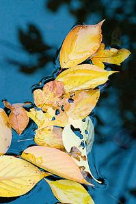 Herbstlaub auf der Wasseroberfläche, Japanischer Garten Leverkusen, autumn leaves in a pond