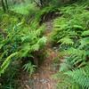 Wanderweg durch Farn und Bäume im Koke'e State Park