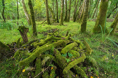 Wald im Killarney National Park bei Ross Castle