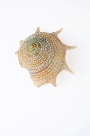 Guildfordia aculeatus