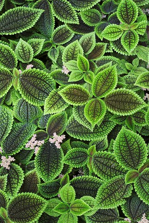 Pilea crassifolia