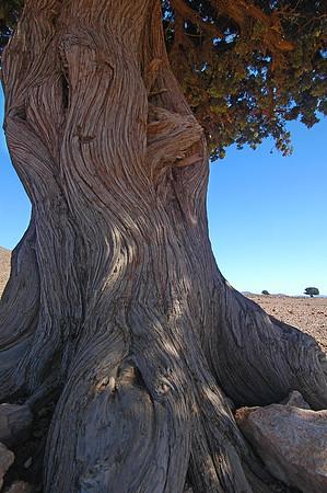 Wacholderbaum, Marokko