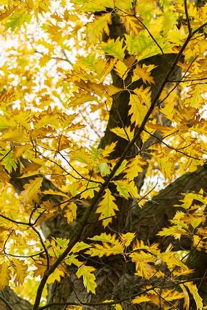 Roteiche im Herbst