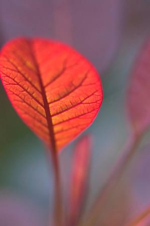 Blatt eines Perückenstrauchs im Herbst