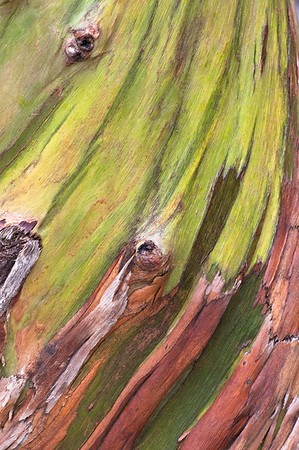 Rinde eines Eukalyptusbaumes