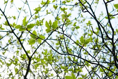 Junges Laub im Frühjahr