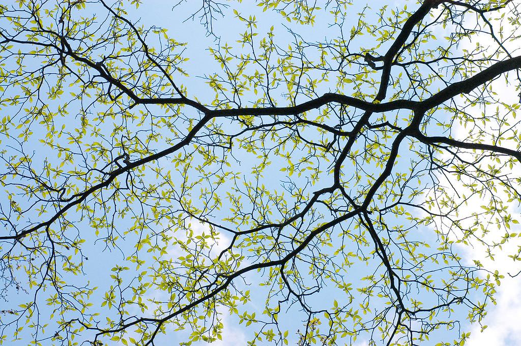 Japanische Kornelkirsche, Cornus officinalis