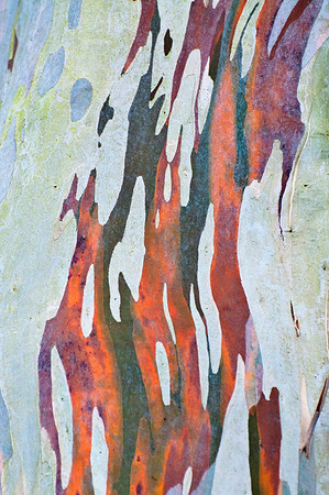 Rinde eines Eukalyptusbaums