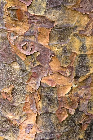 Rinde eines Ahornbaums