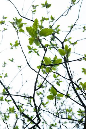 Schwedische Mehlbeere, Sorbus intermedia