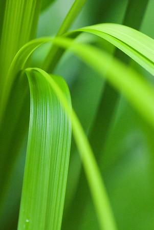 Tropische Lilie