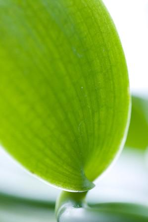 Blatt einer tropischen Schlingpflanze