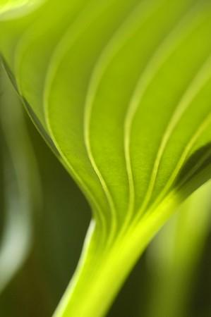 Herzlilie