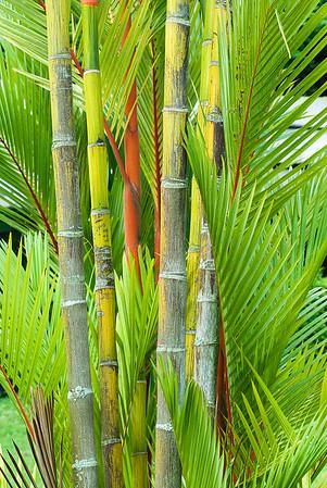 Red Sealing Wax Palm, Cyrtostachys renda