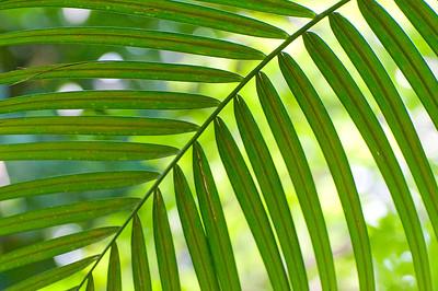 Palmfarn (Ceratozamia )