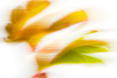 Anigozanthos flavidus, Känguruhpfötchen