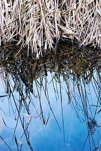 Schilfgras, Phragmites australis