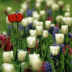 k-tulpenbeet-eg12-71
