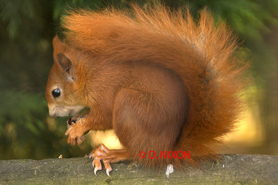 RED SQUIRREL 0319