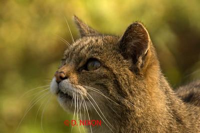 WILD CAT 0322