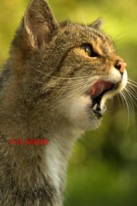 WILD CAT 0320