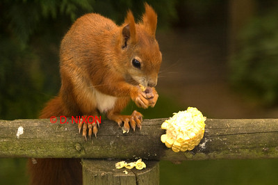 RED SQUIRREL 0317